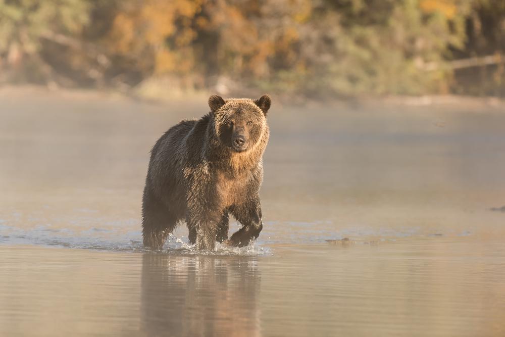 spirit bear animal